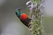 Cinnyris_reichenowi002.Bamenda_Highlands.Cameroon.17.02.2012