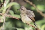 Cinnyris_mediocris003.Female.Mt.Kenya_N.P.Kenia.PJ.4.12.2014