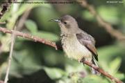 Cinnyris_mediocris002.Female.Mt.Kenya_N.P.Kenia.PJ.4.12.2014