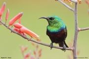 Cinnyris_mariquensis003.Male.Mpala_R.C.Kenia.PJ.3.12.2014