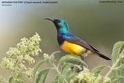 216.100.Cinnyris_venustus001.Tarangira_N.P.Tanzania.26.03.2013