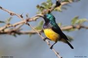 Cinnyris_venustus009.Lake_Naivasha.Kenia.PJ.10.12.2014