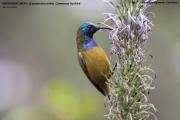 216.041.Cyanomitra_oritis001.Bamenda_Highlands.Cameroon.17.02.2012