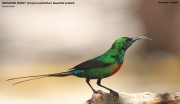 216.081.Cinnyris_pulchellus001.Male.Marakissa.Gambia.21.01.2009