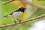 218.052.Leptocoma zeylonica001.Male.Tissamaharama.Sri Lanka.30.11.2018