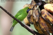 224.008.Chloropsis-aurifrons001.Baan-Song-Nok.Kaeng-Krachan-N.P.Thailand.MJ_.13.11.2012