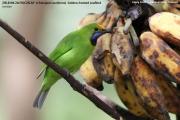 217.008.Chloropsis_aurifrons001.Baan_Song_Nok.Kaeng_Krachan_N.P.Thailand.MJ.13.11.2012