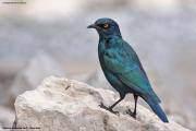 Lamprotornis_nitens002.Etosha_N.P.Namibia.20.02.2014