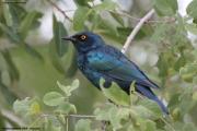 Lamprotornis_nitens003.Etosha_N.P.Namibia.20.02.2014