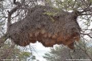 Philetairus_socius005.Gniazdo.Etosha_N.P.Namibia.21.02.2014