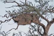 Philetairus_socius007.Gniazdo.Erindi.Namibia.17.02.2014