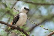 220.014.Dinemellia_dinemelli001.Okolice_Lake_Natron.Tanzania.28.03.2013