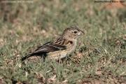 Euplectes_capensis002.Non_br.Male.Masai_Mara_N.R.Kenia.13.12.2014