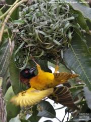 Malimbus_cucullatus016.Nyassoso.Kamerun.19.02.2012
