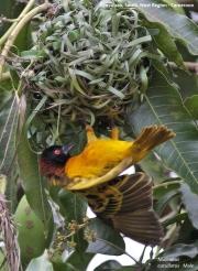 Malimbus_cucullatus015.Nyassoso.Kamerun.19.02.2012