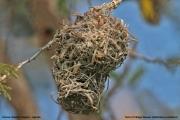 Malimbus_cucullatus022.Gniazdo.Okolice_Hoima.Uganda.22.11.2012