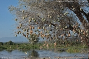 Malimbus_cucullatus024.Kolonia.Lake_Baringo.Kenia.9.12.2014