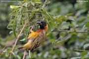 Malimbus_melanocephalus005.Fort_Portal.Uganda.25.11.2012