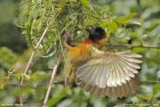 Malimbus_melanocephalus006.Fort_Portal.Uganda.25.11.2012
