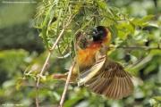 Malimbus_melanocephalus007.Fort_Portal.Uganda.25.11.2012