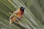 Malimbus_melanocephalus008.Fort_Portal.Uganda.25.11.2012