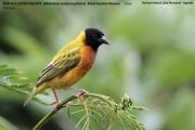 220.112.Malimbus_melanocephalus001.Bushara_Is.Lake_Bunyonyi.Uganda.3.03.2011
