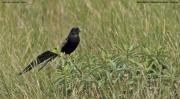 Euplectes_jacksoni003.Okolice_Ngorongoro.Tanzania.22.03.2013
