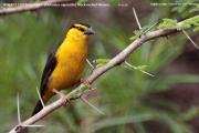 220.Malimbus__nigricollis002.Female.Sagala_Lodge.Tsavo_East_N.P.Kenia.PJ.23.09.2011