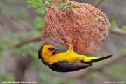Ploceus_nigricollis006.Sagala_Lodge.Tsavo_East_N.P.Kenia.PJ.23.09.2011