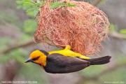 Ploceus_nigricollis008.Sagala_Lodge.Tsavo_East_N.P.Kenia.PJ.23.09.2011