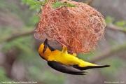 Ploceus_nigricollis009.Sagala_Lodge.Tsavo_East_N.P.Kenia.PJ.23.09.2011