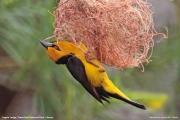 Ploceus_nigricollis010.Sagala_Lodge.Tsavo_East_N.P.Kenia.PJ.23.09.2011