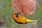 Ploceus_nigricollis011.Sagala_Lodge.Tsavo_East_N.P.Kenia.PJ.23.09.2011