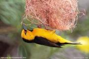 Ploceus_nigricollis012.Sagala_Lodge.Tsavo_East_N.P.Kenia.PJ.23.09.2011