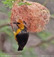 Ploceus_nigricollis013.Sagala_Lodge.Tsavo_East_N.P.Kenia.PJ.23.09.2011