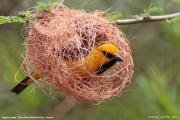 Ploceus_nigricollis014.Sagala_Lodge.Tsavo_East_N.P.Kenia.PJ.23.09.2011