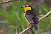 Ploceus_nigricollis015.Female.Sagala_Lodge.Tsavo_East_N.P.Kenia.PJ.23.09.2011