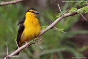 Ploceus_nigricollis016.Female.Sagala_Lodge.Tsavo_East_N.P.Kenia.PJ.23.09.2011