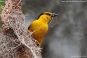 Ploceus_nigricollis017.Sagala_Lodge.Tsavo_East_N.P.Kenia.PJ.23.09.2011