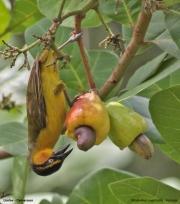 Ploceus_nigricollis019.Female.Limbe.Kamerun.23.02.2012