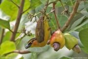 Ploceus_nigricollis020.Female.Limbe.Kamerun.23.02.2012