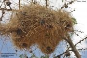 Pseudonigrita_arnaudi006.Okolice_Yabelo.Etiopia.19.11.2009