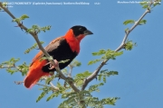 220.033.Euplectes_franciscanus001.Murchison_Falls_N.P.Uganda.18.11.2012
