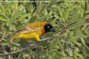 220.087.Malimbus_intermedius001.Lake_Manyara_N.P.Tanzania.18.03.2013