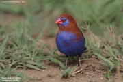 Granatina_ianthinogaster003.Male.Lake_Naivasha.Kenia.10.12.2014
