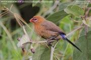221.022.Granatina_ianthinogaster002.Female.Mpala_R.C.Kenia.3.12.2014