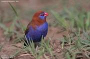 Granatina_ianthinogaster004.Male.Lake_Naivasha.Kenia.10.12.2014