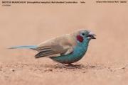 221.024.Uraeginthus_bengalus001.Kidapo_Valley_N.P.Uganda.15.11.2012