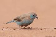 Uraeginthus_bengalus008.Female.Kidapo_Valley_N.P.Uganda.15.11.2012
