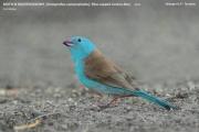 221.025.Uraeginthus_cyanocephalus001.Male.Tarangire_N.P.Tanzania.25.03.2013